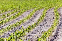 Maïs vert Ressort Photo libre de droits