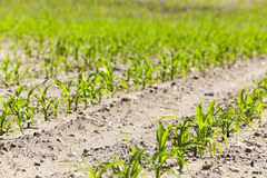 Maïs vert Ressort Photographie stock libre de droits