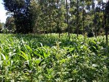 Maïsaanplanting royalty-vrije stock fotografie