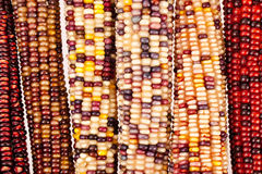 Maïsachtergrond Stock Fotografie