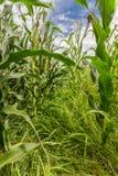 Maïsgebied Stock Afbeeldingen