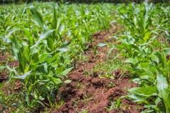 Maïsgebied Stock Foto