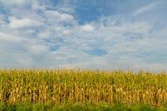 Maïsgebied Royalty-vrije Stock Fotografie