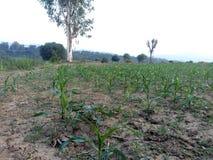 Maïsgebieden Stock Fotografie