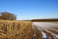 Maïsinstallaties en lariksbos Royalty-vrije Stock Fotografie