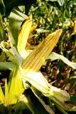Maïskolf geschoten close-up op een zonnige dag stock foto