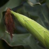 Maïskolf het groeien op het gebied Stock Afbeelding