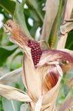 Maïskolf purper vers graan op de steel, klaar voor oogst, purper graan in gebiedslandbouw stock afbeeldingen