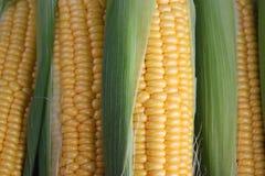 Maïskolven Stock Afbeeldingen