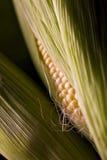 Maïskolven Stock Foto