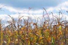 Maïskolven die op de installatie op een gebied drogen stock foto