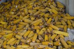 Maïskolven graanachtergrond stock foto