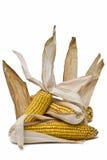 Maïskolven met zijn huid. Royalty-vrije Stock Afbeeldingen