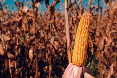 Maïskolven op gebied stock fotografie