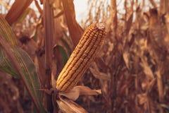 Maïskolven op gebied stock afbeeldingen
