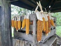 Maïskolven van graan het drogen in openlucht Verbonden aan elkaar glumes Hang op een houten doos en een strakke kabel Gewassen wo stock afbeelding