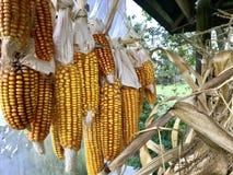 Maïskolven van graan het drogen in openlucht Verbonden aan elkaar glumes Hang op een strakke kabel Gewassen van infield worden ge stock fotografie