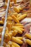 Maïsmodel Stock Afbeeldingen