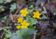 Mañana amarilla de Marsh Marigold Flowers In The foto de archivo