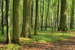 Mañana asoleada en bosque Foto de archivo libre de regalías