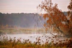 Mañana brumosa del otoño en el río Árboles de abedul amarillo Fotografía de archivo libre de regalías