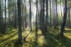 Mañana brumosa en el bosque, el istmo carelio, Rusia Fotos de archivo