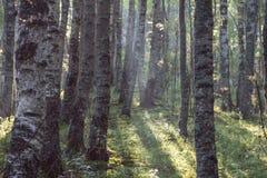 Mañana brumosa en el bosque, el istmo carelio, Rusia Fotos de archivo libres de regalías