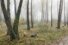 Mañana brumosa en el bosque en la caída Mañana, otoño Fotografía de archivo libre de regalías