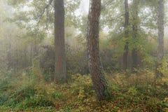 Mañana brumosa en el bosque en la caída Mañana, otoño Foto de archivo libre de regalías