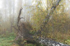 Mañana brumosa en el bosque en la caída Mañana, otoño Foto de archivo
