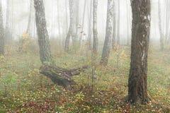 Mañana brumosa en el bosque en la caída Mañana, otoño Imagenes de archivo