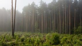 Mañana brumosa en las maderas Imagen de archivo