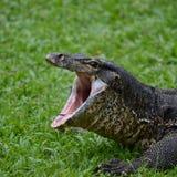 Mañana de bostezo del comienzo del verano del lagarto fotos de archivo libres de regalías