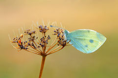 Mañana de la mariposa Imagenes de archivo