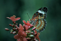 Mañana de la mariposa Imagen de archivo