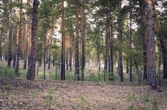 Ma?ana de la primavera en la madera de pino que mira cuesta arriba con las porciones de troncos y de Sunny Highlights verticales  fotos de archivo