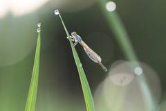 Mañana de las libélulas Foto de archivo libre de regalías