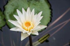 Mañana de Lotus en naturaleza Imágenes de archivo libres de regalías