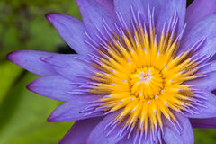 Mañana de Lotus en naturaleza Imagen de archivo libre de regalías