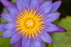 Mañana de Lotus en naturaleza Fotos de archivo libres de regalías