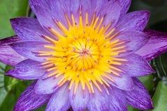Mañana de Lotus en naturaleza Imagenes de archivo