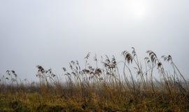 Mañana de niebla con el goteo de las cañas mojadas Imagenes de archivo