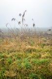 Mañana de niebla con el goteo de las cañas mojadas Imagen de archivo