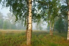 Mañana de niebla en bosque del abedul Imagenes de archivo