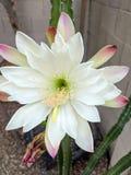 Mañana del cirio de floración de noche Imagen de archivo libre de regalías