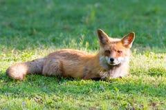 Mañana 2 del Fox rojo Foto de archivo libre de regalías