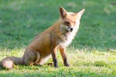 Mañana del Fox rojo Imagen de archivo libre de regalías