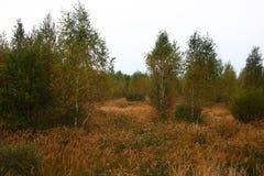 Mañana del otoño Abedules entre una hierba seca Imagen de archivo