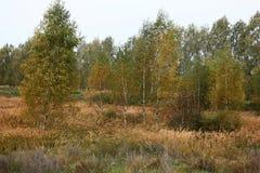 Mañana del otoño Abedules jovenes Fotos de archivo