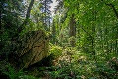 Mañana del verano en un bosque verde Fotos de archivo libres de regalías